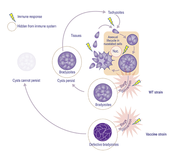 Toxoplasma infection diagram