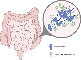 Graphic of intestine showing bacteria feeding on leafy green sugars and multiplying