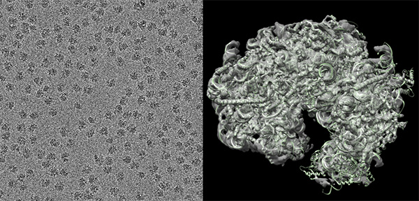 Side-by-side visualisations of malaria parasite