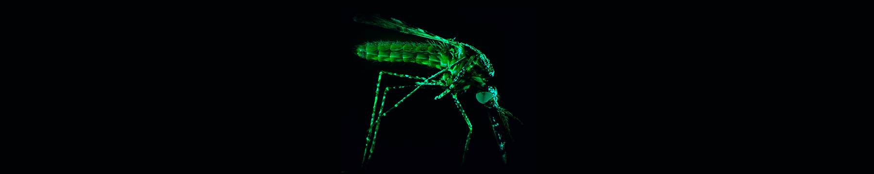 Green mosquito on black background