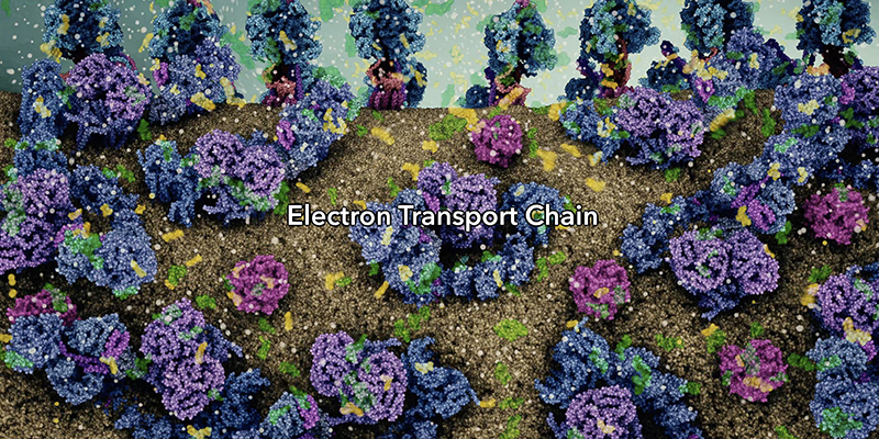 Visualisation of the electron transport chain