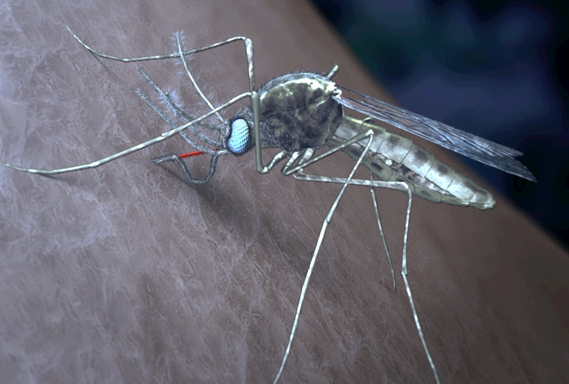Mosquito infected with malaria