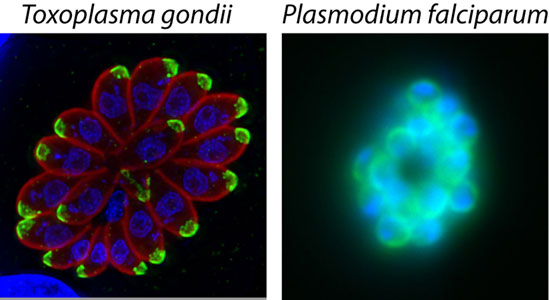 Toxoplasma and Plasmodium parasites